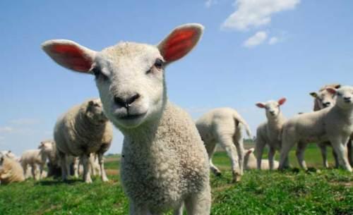 vet-team-lambs[1]